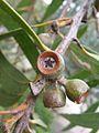 Eucalyptus langleyi 1.jpg