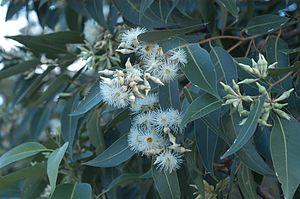Eucalyptus robusta - Flowers appear in autumn/winter; Gosford, NSW