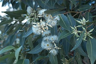 Eucalyptus robusta - Flowers appear in autumn/winter; Gosford, NSW