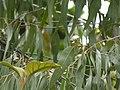 Eucalyptus tereticornis (3780984887).jpg