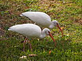 Eudocimus albus -Port Orange, Florida, Florida, USA-8.jpg