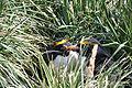 Eudyptes chrysolophus.jpg