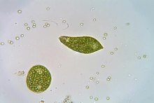 File:Euglena metaboly and swimming movement.ogv