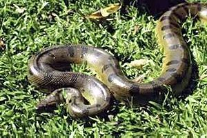Giant anaconda - The green anaconda, Eunectes murinus, is the largest anaconda species. Females are bigger than their male counterparts.