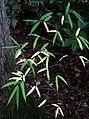 Euonymus cornutus quinquecornutus - Flickr - peganum (1).jpg