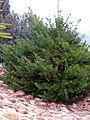 Euonymus japonicus habitus2 2009December13 DehesaBoyaldePuertollano.jpg