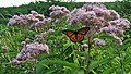 Eupatoire maculée avec papillon vice-roi.jpg