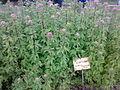 Eupatorium cannabinum 080720086056.jpg