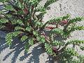 Euphorbia paralias001.jpg
