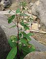 Euphorbia pubentissima.jpg
