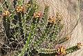 Euphorbia ramulosa 3 (5171639463).jpg