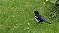 Eurasian Magpie (Pica pica) - Oslo, Norway 2020-09-25.jpg