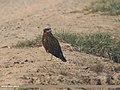 Eurasian Marsh Harrier (Circus aeruginosus) (34290738375).jpg