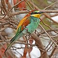 European bee-eater (Merops apiaster).jpg