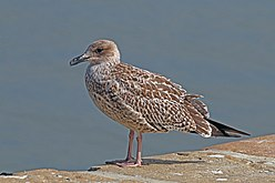 New gulls on the block! – Ray Cannon's nature notes