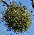 European mistletoe - Viscum album - geograph.org.uk - 1105331.jpg