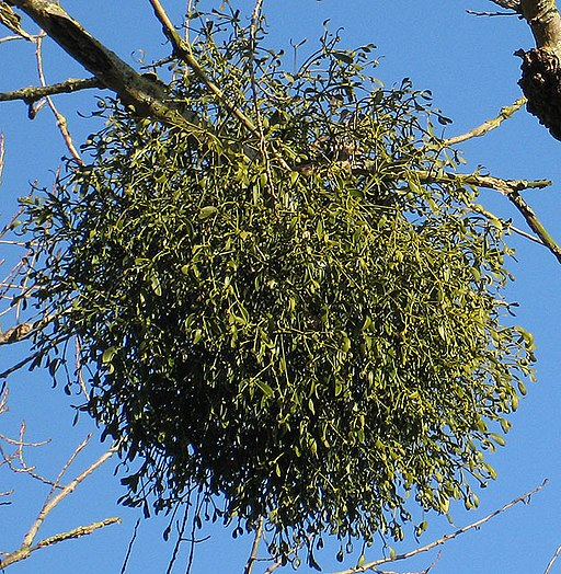 European mistletoe - Viscum album - geograph.org.uk - 1105331