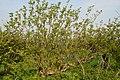 Evidence of hedge maintenance - geograph.org.uk - 791911.jpg