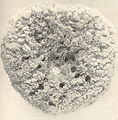 FMIB 39811 Grass Sponge From Matecumbe Key Top view Width, 14 inches.jpeg
