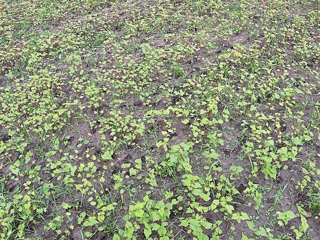Fagopyrum esculentum seed shedding, boekweit zaaduitval