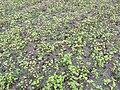 Fagopyrum esculentum seed shedding, boekweit zaaduitval.jpg