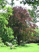 Fagus sylvatica f. purpurea 03 by Line1.JPG