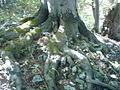 Fagus sylvatica roots.jpg