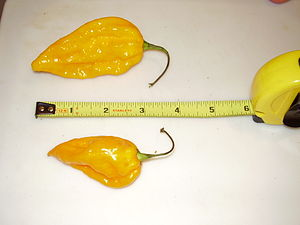 Fatalii - Two ripe Fatalii chillies, with tape measure (in inches) for scale.