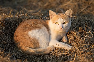 Cat (zodiac) - A cat lying on rice straw
