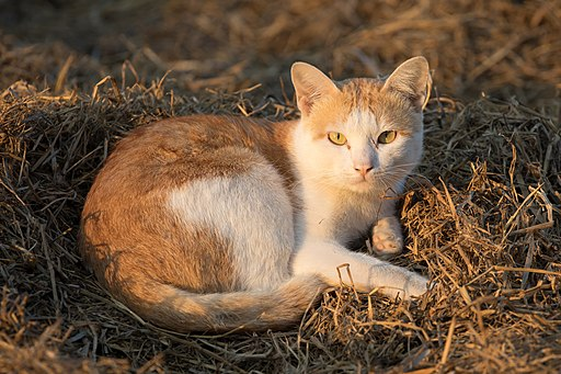 Felis silvestris catus lying on rice straw