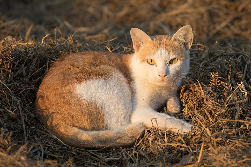 Felis silvestris catus lying on rice straw