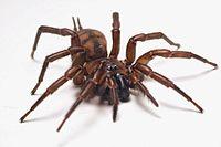 Female Banded tunnelweb spider (Hexathele hochstetteri) - (2).jpg