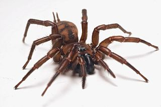 Hexathelidae Family of spiders