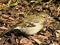 Female Chaffinch collecting nest material.jpg