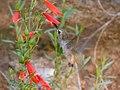 Female Hummingbird enjoying the Bearded Penstemon Upper Huachuca Canyon Sierra Vista AZ 2018-08-05 11-05-11 (43106620145).jpg