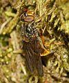 Ferdinandea cuprea (female) - Flickr - S. Rae.jpg
