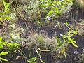 Festuca idahoensis (3750491241).jpg