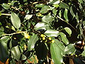 Ficus Benjamin - Früchte.JPG