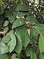Ficus Sp 23.jpg