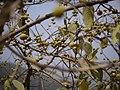 Ficus exasperata (8729402594).jpg