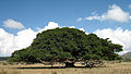 Ficus sycomorus near Segeneyti Eritrea.jpg