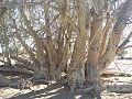 Ficus sycomorus subsp gnaphalocarpa02.jpg