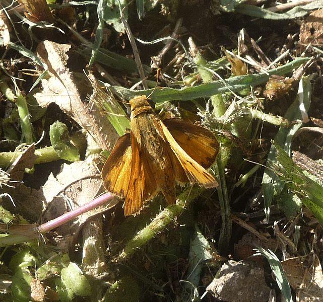 File:Fiery Skipper.^ Hylephila phyleus - Flickr - gailhampshire.jpg
