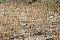 Fiori speciali nelle dune degli alberoni.jpg