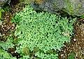 Fittonia albivenis (Fittonia verschaffeltii var. argyroneura) - Shinjuku Gyo-en Greenhouse - Tokyo, Japan - DSC05768.jpg
