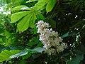 Fleur de marronier, Petit Camargue.jpg
