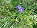 Fleurs au jardin des iris - Jardin des Plantes Paris 10.JPG