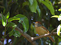 Flickr - Dario Sanches - CHOCA-BARRADA fêmea (Thamnophilus doliatus).jpg