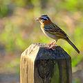 Flickr - Dario Sanches - TICO-TICO (Zonotrichia capensis ) (3).jpg