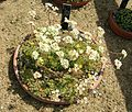 Flickr - brewbooks - Saxifraga paniculata var. Brevifolia.jpg